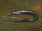 Lamprey Eel,Illustration