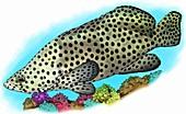 Humpback Grouper,Illustration