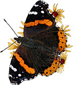 Red Admiral Butterfly,Illustration