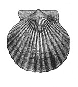 Edible Scallop,Illustration