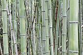 Bamboo grove in Nara Provence,Japan