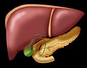 Liver and Organs,Illustration