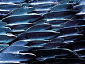 Shark Skin,SEM