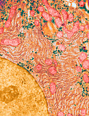 Hepatic Parenchymal Cell,TEM