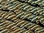 Great Hammerhead Shark Skin,SEM