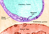 Muscle Capillary,LM