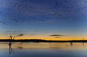 Snow Geese and Marsh Pond at Sunrise