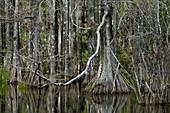 Bald Cypress Swamp,Florida