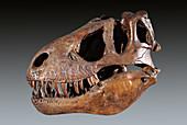 Tyrannosaurus rex Skull