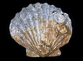 Fossil Scallop