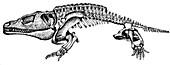 Eryops,Primitive Amphibian