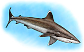 Silvertip Reef Shark