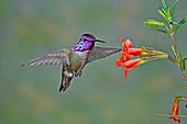 Costa's Hummingbird at flower