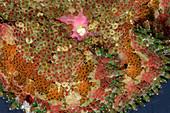 Fluorescent Sea Anemone