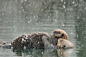 Sea Otter and Pup in Snow