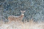 Spike Buck in Snow