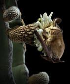 Pallid Bat Pollinating Cactus