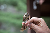 Lincoln Sparrow,Banded