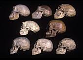 Skulls of human evolution