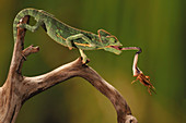 Veiled Chameleon catches Cricket