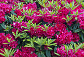 Rhododendron in flower