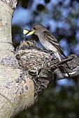 Western Wood Pewee Nest