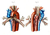 Aortic arch,19th Century illustration
