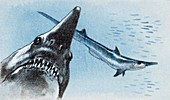 Shark teeth from fossil,illustration