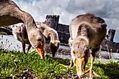 Greylag geese grazing