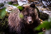 Grizzly bear by a river