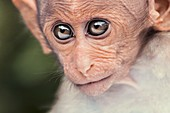 Young bonnet macaque