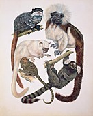 Primates,illustration