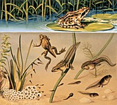 Lifecycle of a frog,illustration