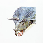 Illustration of Triceratops,close up