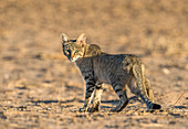 African Wildcat at dawn