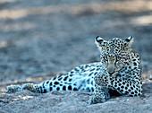 Leopard grooming