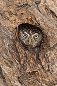 Pearl-spotted Owlet in nesting hole
