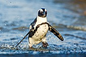 African Penguin emerging from the water
