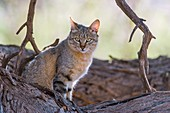 African Wild Cat resting in a large tree