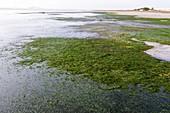 Cape eelgrass (Zostera capensis)