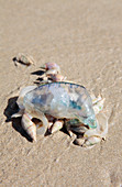 Sea snails scavenging dead jellyfish