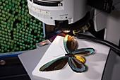 Birdwing butterfly research