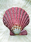Scallop shell Gloriapallium pallium