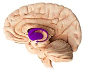 Basal ganglia in the brain,illustration