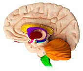 Brain structures,illustration