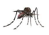 Mosquito,illustration