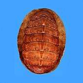 Callochiton septemvalvis shell