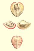 Heart cockle shells,illustration