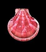 Decatopecten plica scallop shell