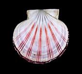 Queen scallop shell